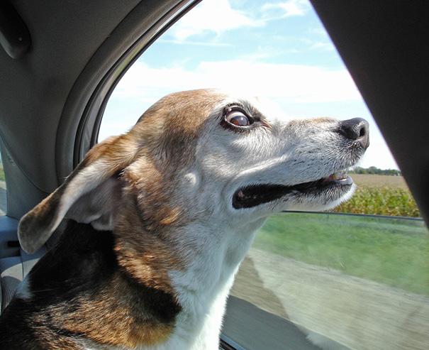 perros-disfrutando-viaje-coche (6)