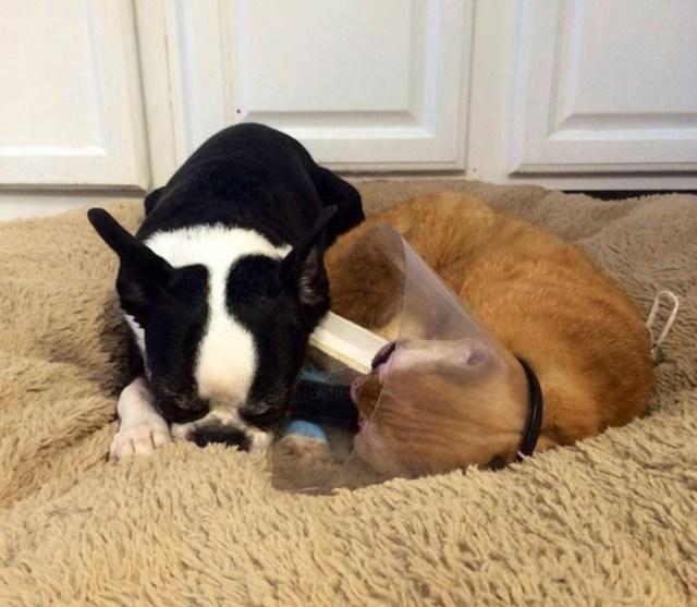 russel-gato-superviviente-cuida-animales-hospital (4)
