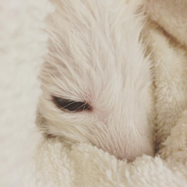 cachorro-zorro-blanco-rylai (12)