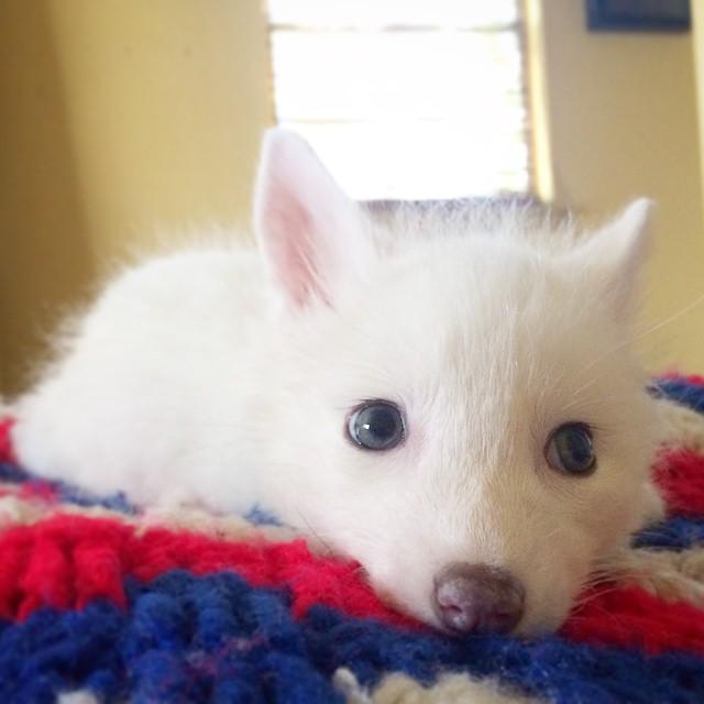 cachorro-zorro-blanco-rylai (2)