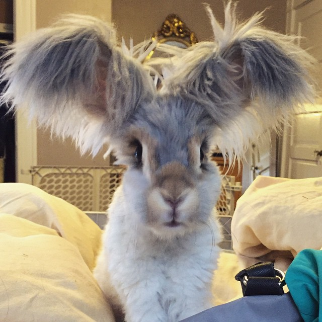 corte-pelo-orejas-conejo-angora-wally (5)