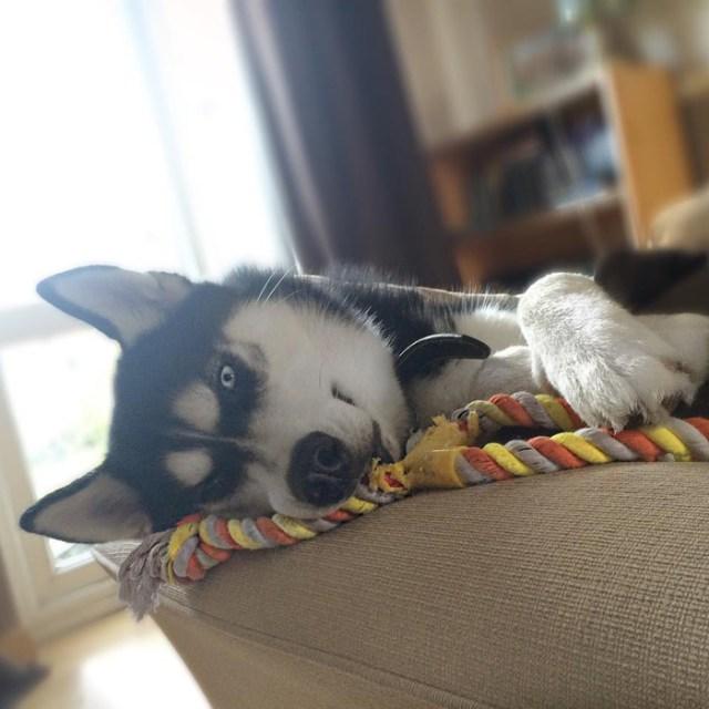 expresion-facial-perro-husky-traicionado-anuko-jasmine-milton (6)