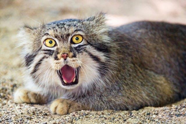 gato-pallas-manul (2)