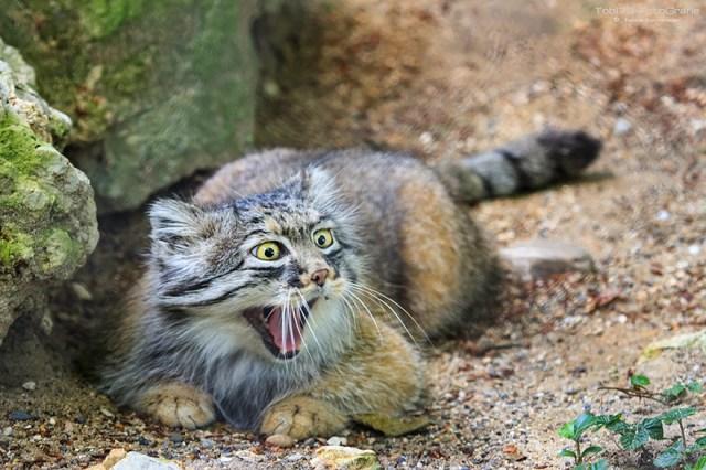 gato-pallas-manul (21)
