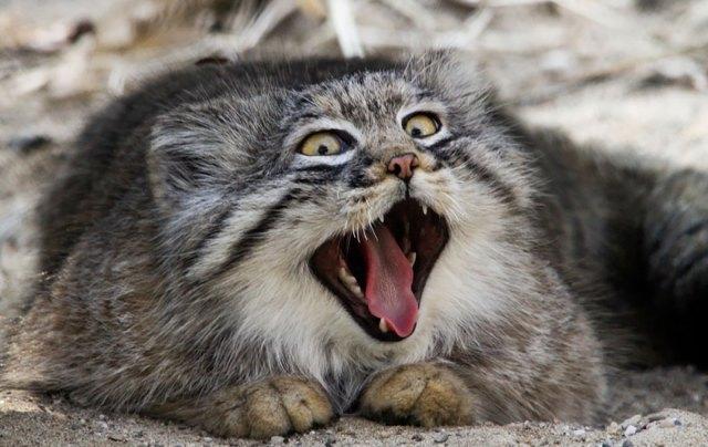 gato-pallas-manul (9)