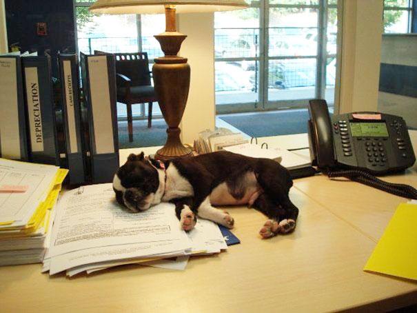 lleva-tu-perro-al-trabajo (3)