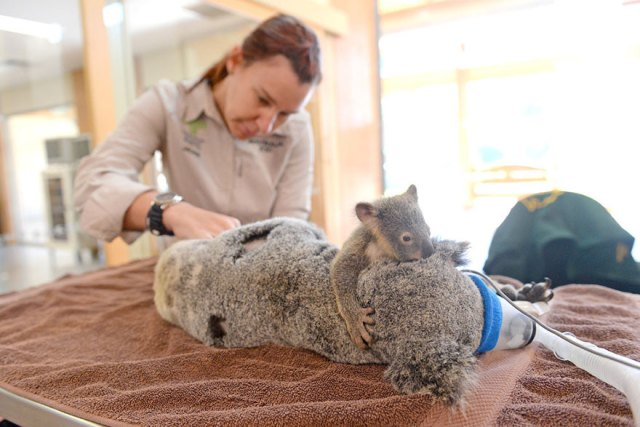 madre-koala-operacion-cria-zoo-australia (6)