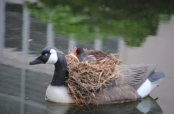 pajaros-nidos-sitios-inusuales (24)