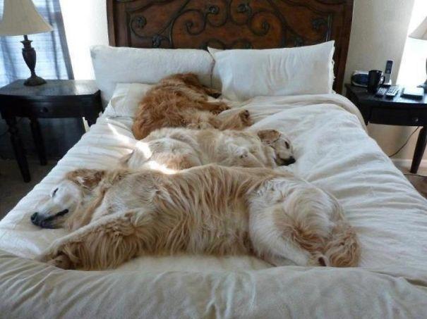 perros-durmiendo-camas-duenos (7)