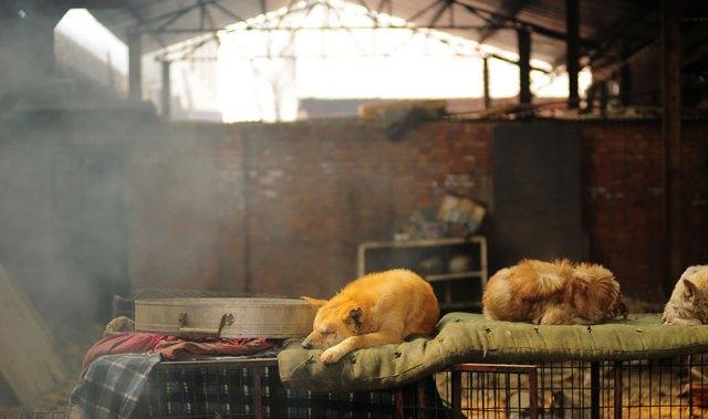 perros-rescatados-festival-yulin-china (15)