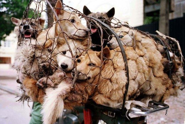 perros-rescatados-festival-yulin-china (21)