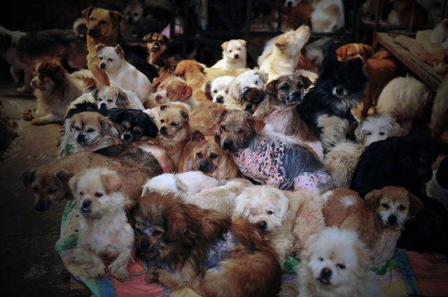 perros-rescatados-festival-yulin-china (3)