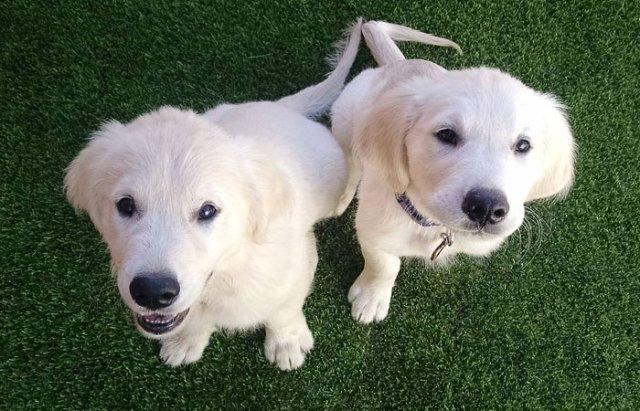 video-secuencial-cachorros-perro-creciendo-colby-bleu (1)