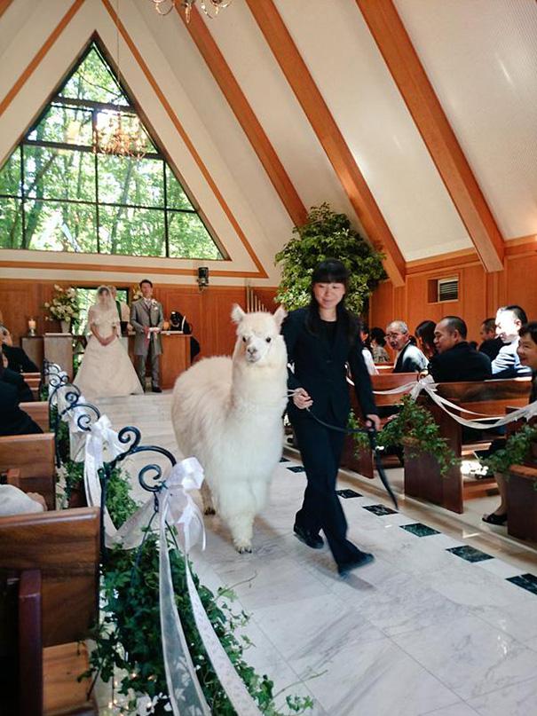 alpaca-testigo-boda-epinard-nasu-japon (1)