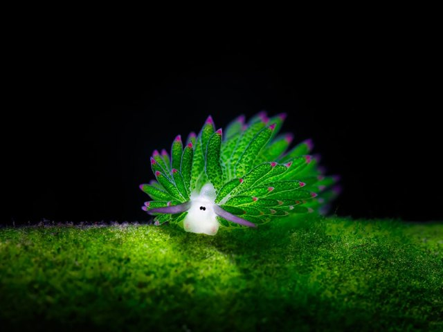 babosa-marina-oveja-hoja-costasiella-kuroshimae (1)