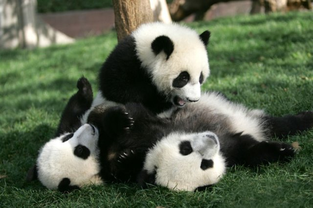 base-investigacion-chengdu-guarderia-osos-panda (14)