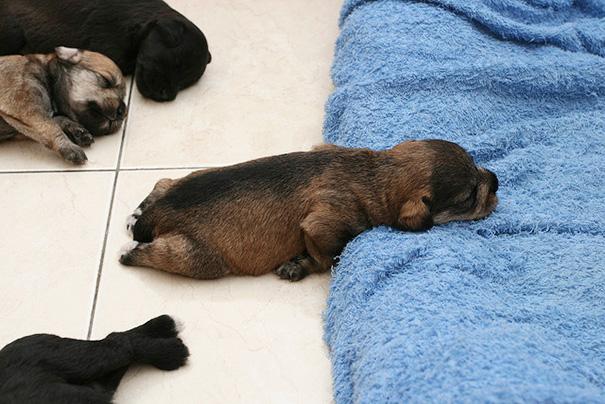 cachorros-perro-durmiendo (13)