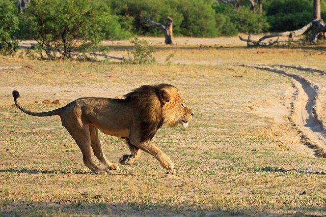 caza-ilegal-cecil-leon-zimbabue-walter-palmer (3)