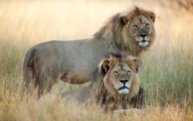 caza-ilegal-cecil-leon-zimbabue-walter-palmer (9)