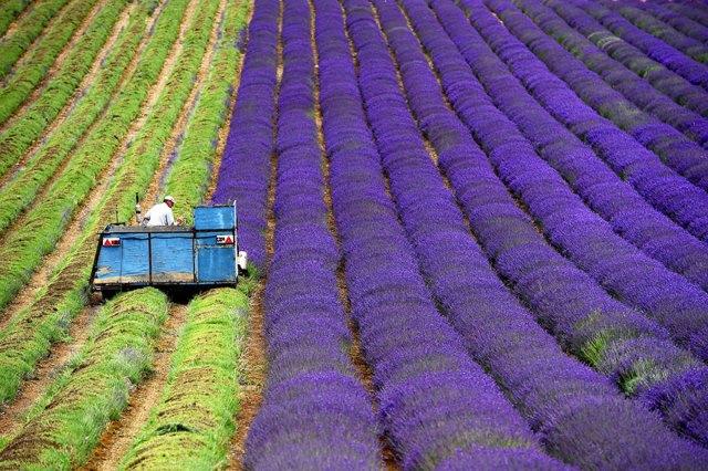 cosecha-campos-lavanda (4)