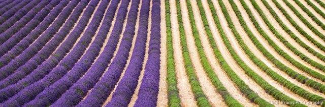 cosecha-campos-lavanda (6)
