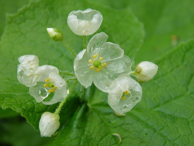 flor-esqueleto-petalos-transparentes-lluvia-diphylleia-grayi (8)