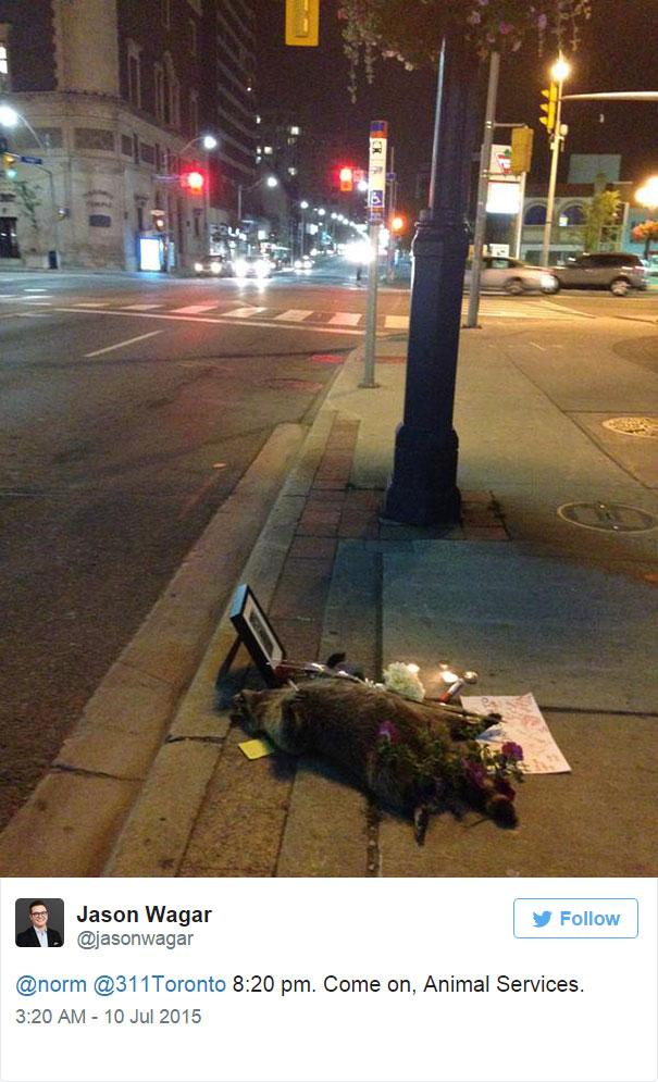 mapache-muerto-homenaje-luto-deadraccoonto (7)