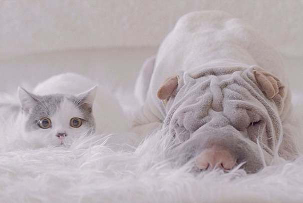 amistad-animal-sharpei-perro-gato-annie-jacobs (9)