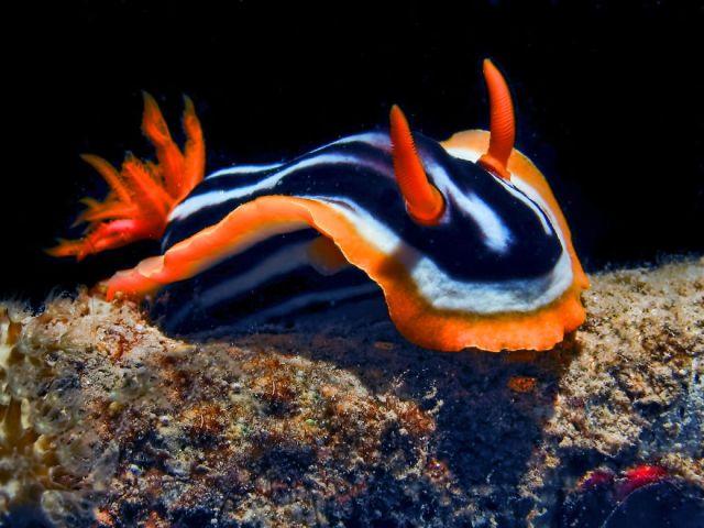 curiosas-babosas-marinas-nudibranquios (20)