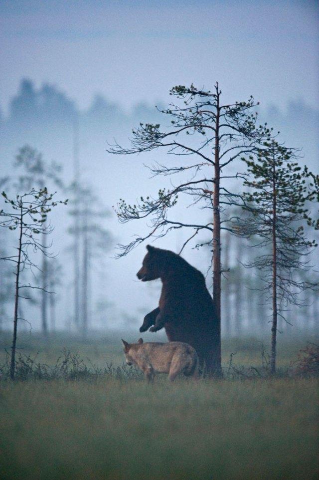fotos-inusual-amistad-animal-lobo-oso-lassi-rautiainen-finlandia (13)