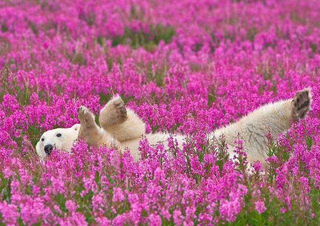 fotos-osos-polares-jugando-flores-dennis-fast (1)