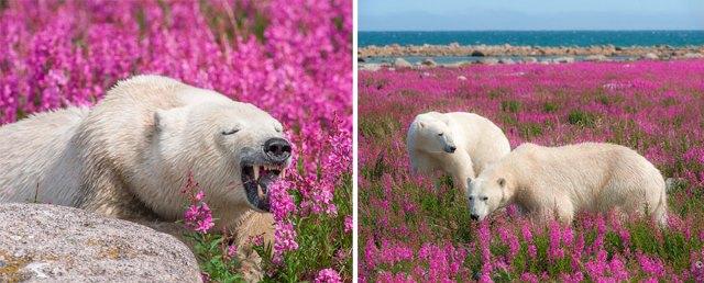 fotos-osos-polares-jugando-flores-dennis-fast (10)