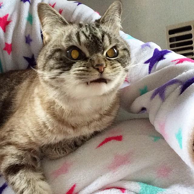 gato-vampiro-enfadado-loki (14)