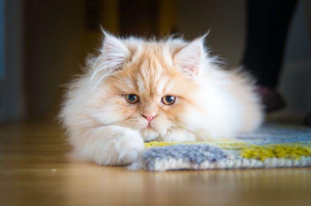 gatos-mostrando-emociones (3)