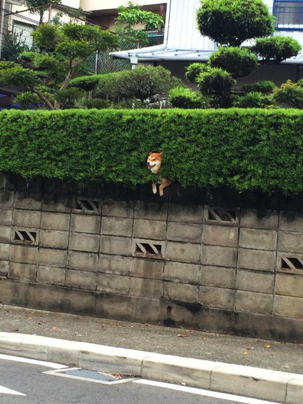 perro-shiba-atascado-arbusto-japon (2)