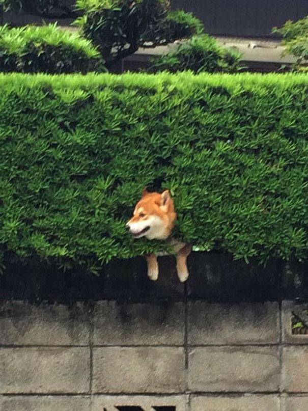perro-shiba-atascado-arbusto-japon (3)