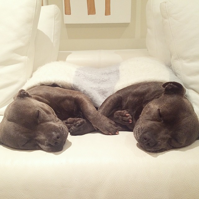hermanos-perros-bull-terriers-blueboys-instagram (2)