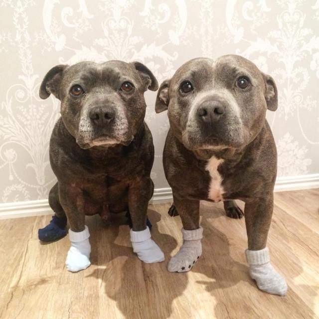 hermanos-perros-bull-terriers-blueboys-instagram (7)