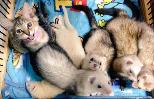 gato-komari-adoptado-familia-hurones (11)
