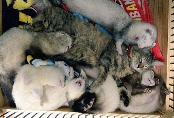 gato-komari-adoptado-familia-hurones (24)