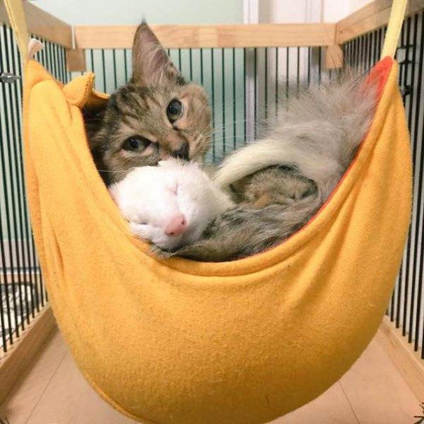 gato-komari-adoptado-familia-hurones (4)