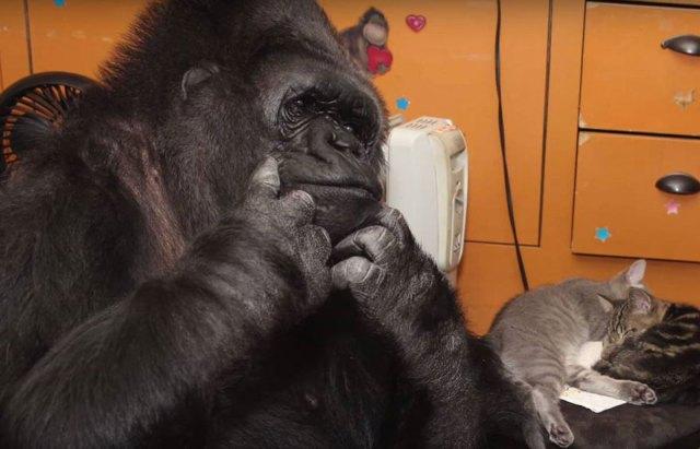 gorila-koko-regalo-cumpleanos-gatos (3)