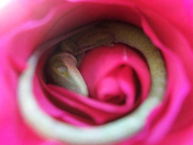 lagarto-durmiendo-rosa (1)