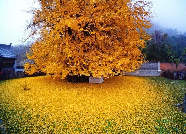 arbol-ginkgo-hojas-caidas-templo-budista-china (5)