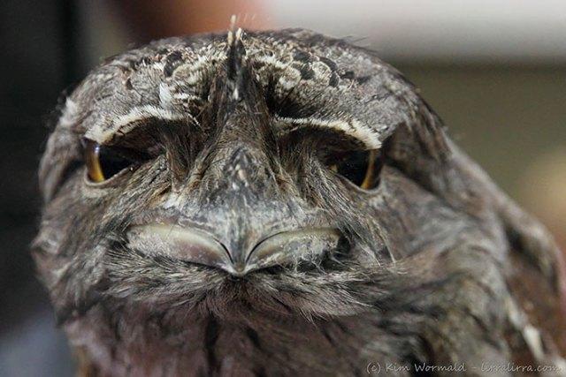 podargo-australiano-ave (11)