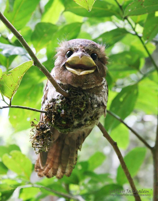 podargo-australiano-ave (5)
