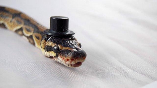 serpientes-llevando-sombrero (4)