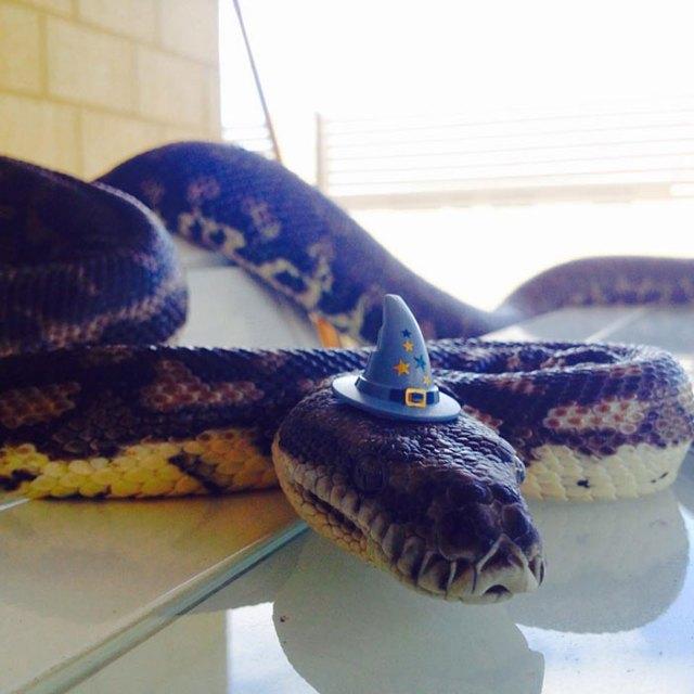 serpientes-llevando-sombrero (7)