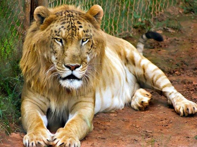 animales-hibridos-reales (2)