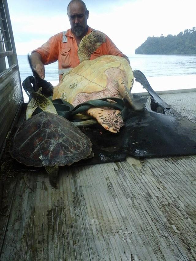 rescata-tortugas-marinas-arron-culling-papua-nueva-guinea (4)